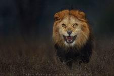attacco-leone-foto-atif-saeed-1